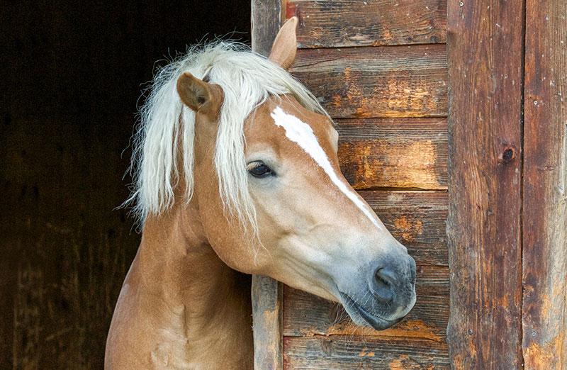 Häst i stall